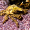 Arrowhead crab on Ocher Star