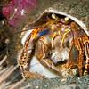 Hermt Crab
