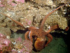 Young Giant Pacific Octopus seen during a shore dive at Sunrise Beach, Washington