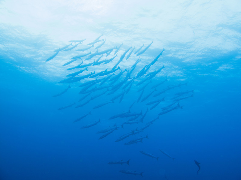School of barracudas