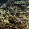 Butterflyfishes hanging near the soft coral