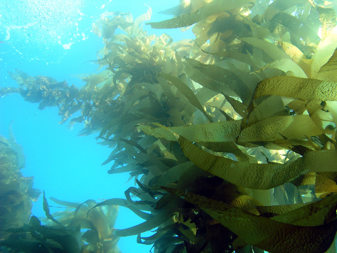 kelpstalk