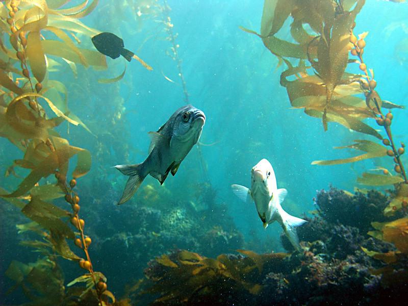 ocean whitefish2