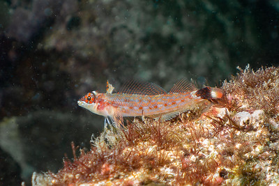 Small Goby