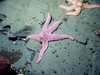Spiny Pink Stars roam around on the clay substrate.
