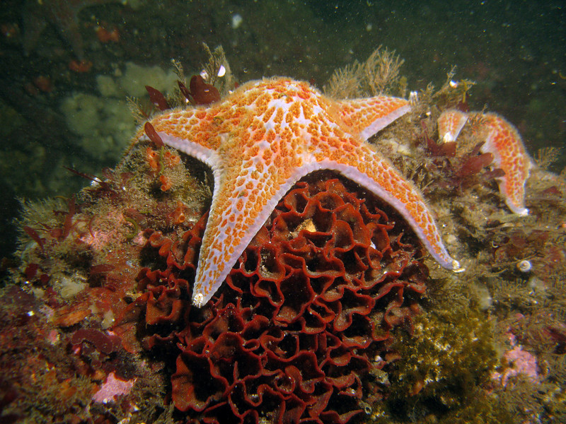 A Leather Star on top of a cluster of invasive bryozoan, Watersipora subtorquata