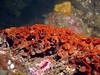 More of the invasive bryozoan, Watersipora subtorquata.