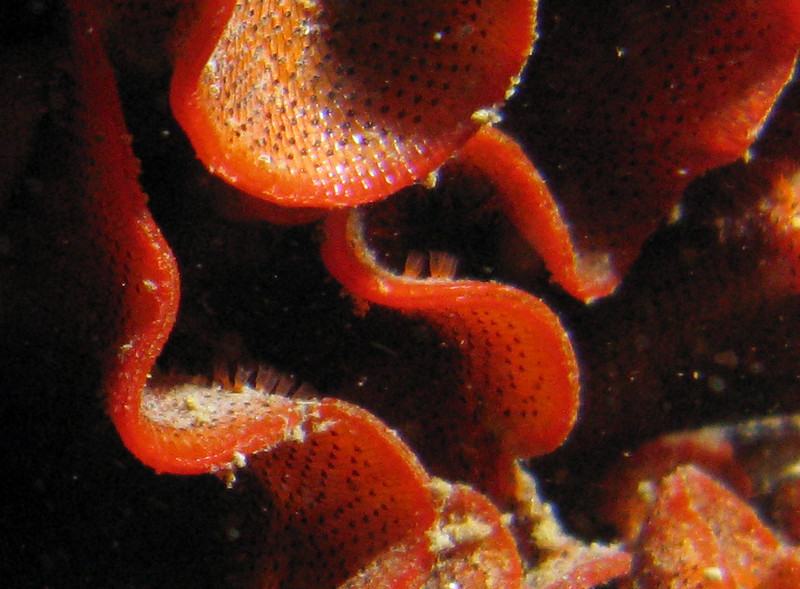 Closeup of the invasive bryozoan, showing the zooids as well as extended tentacles on some of them.