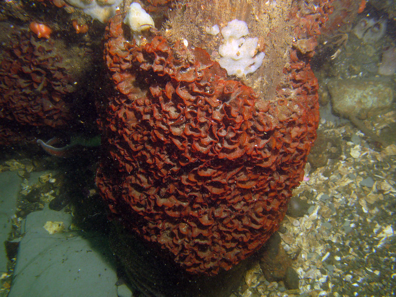 The invasive bryozoan, Watersipora subtorquata, surrounding a wooden piling.