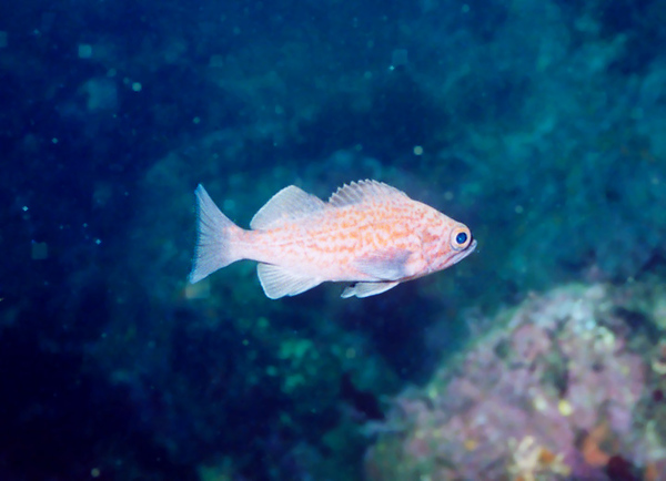 Butterfly, near Monterey. Blue-blotched. (very young, small rockfish)