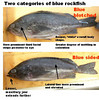 Two categories of Blue Rockfish