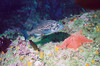 Butterfly, near Monterey. Blue-blotched. (young rockfish)