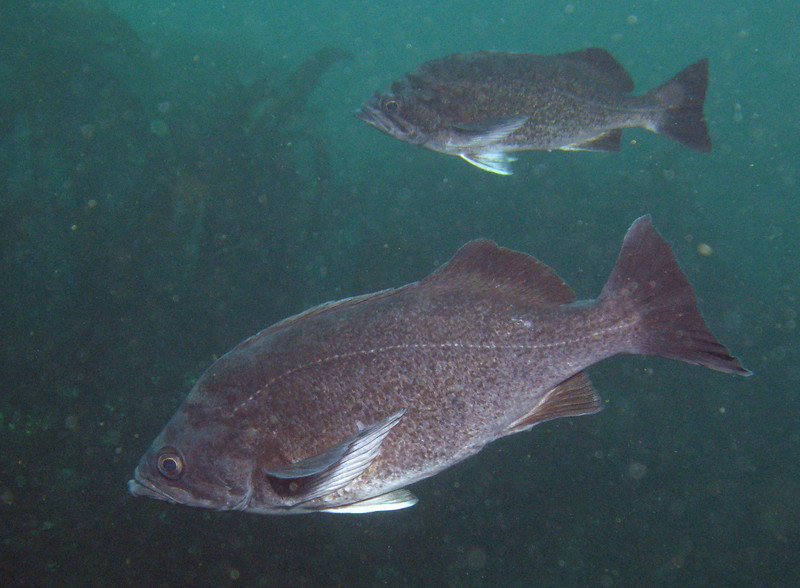 2009 Slant Rock, Olympic Coast National Marine Sanctuary. Blue-sided.
