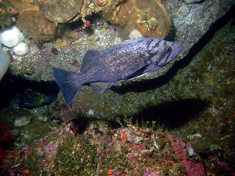 Diplock Reef, Barkley Sound, Vancouver Island, BC - photo by Claude Nichols. Blue-sided.