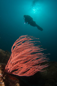 Red gorgonian and a scuba diver.