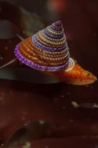 wavy turban snail.