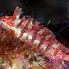 Juvenille Island Kelpfish
