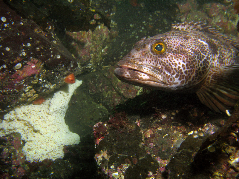 Ling cod on eggs. There were SO many of them!