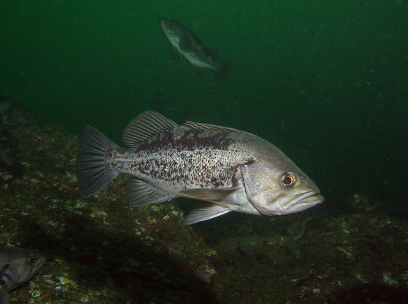 Schools of Black Rockfish were found as well