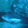 ? Parrotfish