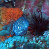 Spotted Moray with a sea urchin