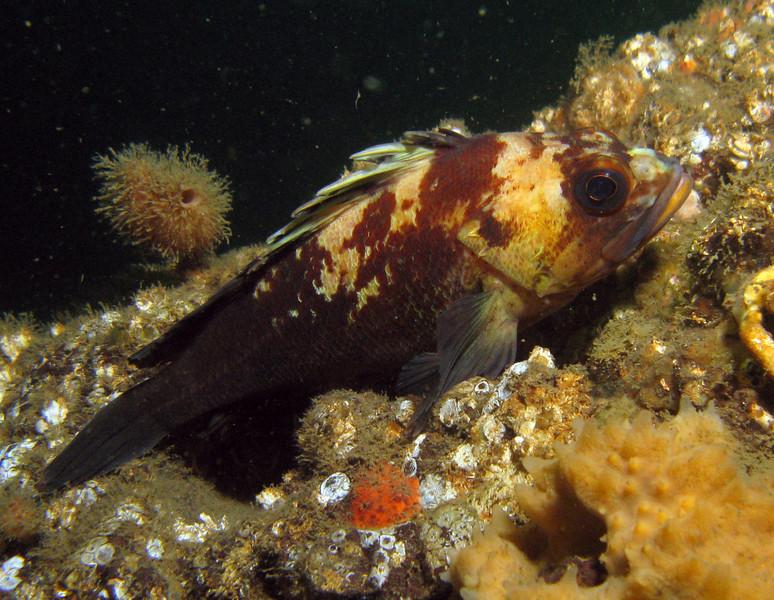 Quillback Rockfish at China Wall