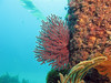 California Golden Gorgonian in foreground, Brown in background?