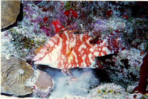 Juvenile Hogfish