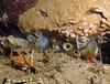 Nov 2008, Sund Rock - Quite a bit of Ciona savignyi (invasive tunicate) on the South Wall.