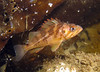Nov 2008, Sund Rock - Another YOY, around 40 ft.