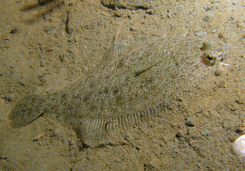 Nov 2008, Sund Rock - Speckled Sanddab