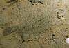 Nov 2008, Sund Rock - Speckled Sanddab