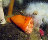 Nov 2008, Sund Rock - Another slumped over Plumose Anemone.