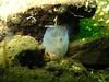 March 2008 - Ciona savignyi invasive tunicate - Elephant Wall