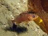 Nov 2008, Sund Rock - YOY Rockfish