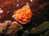 August 2007 - Three of these were found at West Pulali - deflated looking Shiny Orange Sea Squirts