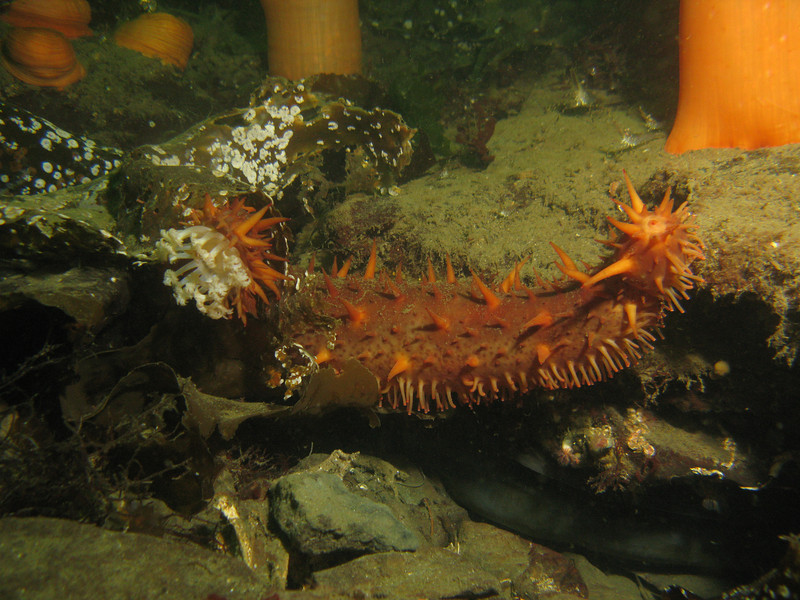 California Sea Cucumbers, when stressed look quite different. They put out all 20 of their white feeding tentacles around their mouth, and those look all withered. They will also try to expose their tube feet as much as possible, since this is part of their respiratory system. The 'thorns' on their back start looking all spindly instead of plump and fat like normal. This one is very stressed.