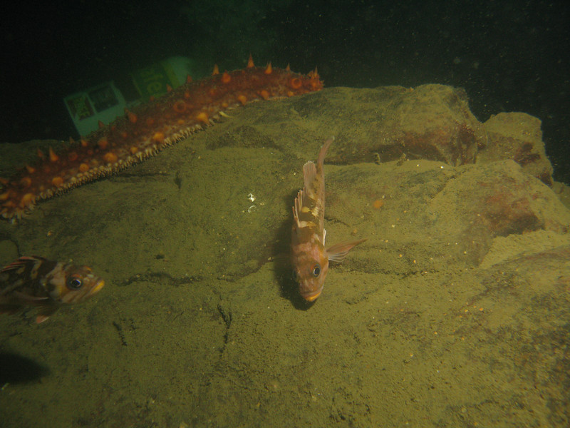 Surprisingly, we found a rock with a number of smaller Copper rockfish around it, down at about 80 feet.
