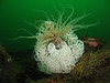 Tube Dwelling Anemone covered in Giant Nudibranch eggs
