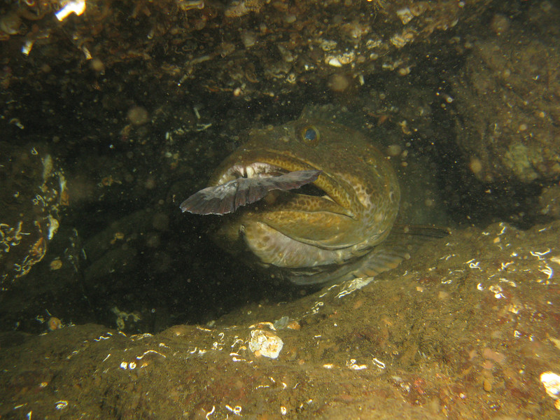 Lingcod with another fish in its mouth