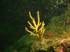Yellow branching sponge