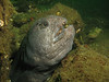 Female Wolf-eel