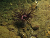 Dark variety of Tube Dwelling anemone