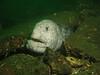 Wolf-eel peers out between some rocks