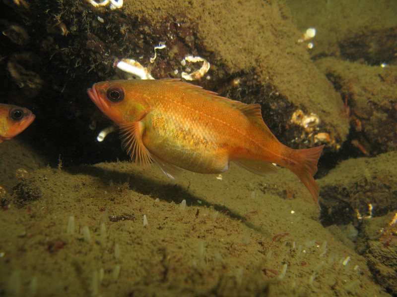 Puget Sound Rockfish about ready to pop!