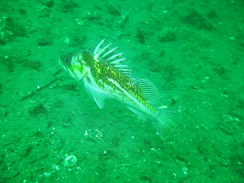 Copper Rockfish and then a female Kelp Greenling swims by