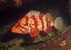 A non-shy Tiger Rockfish