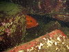 Yelloweye Rockfish is acting shy