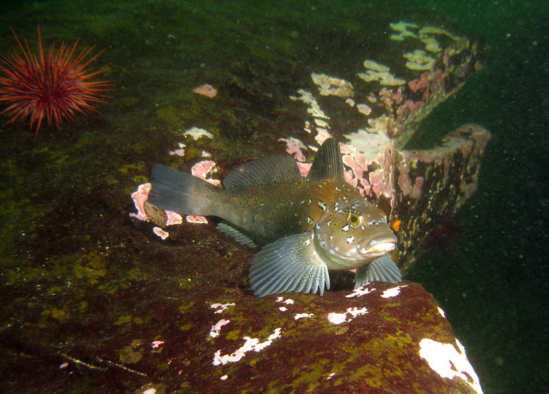 Male Kelp Greenling on top of an overhang