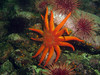 Sunstar and urchins